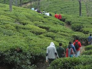 Trekking In The Tea Gardens